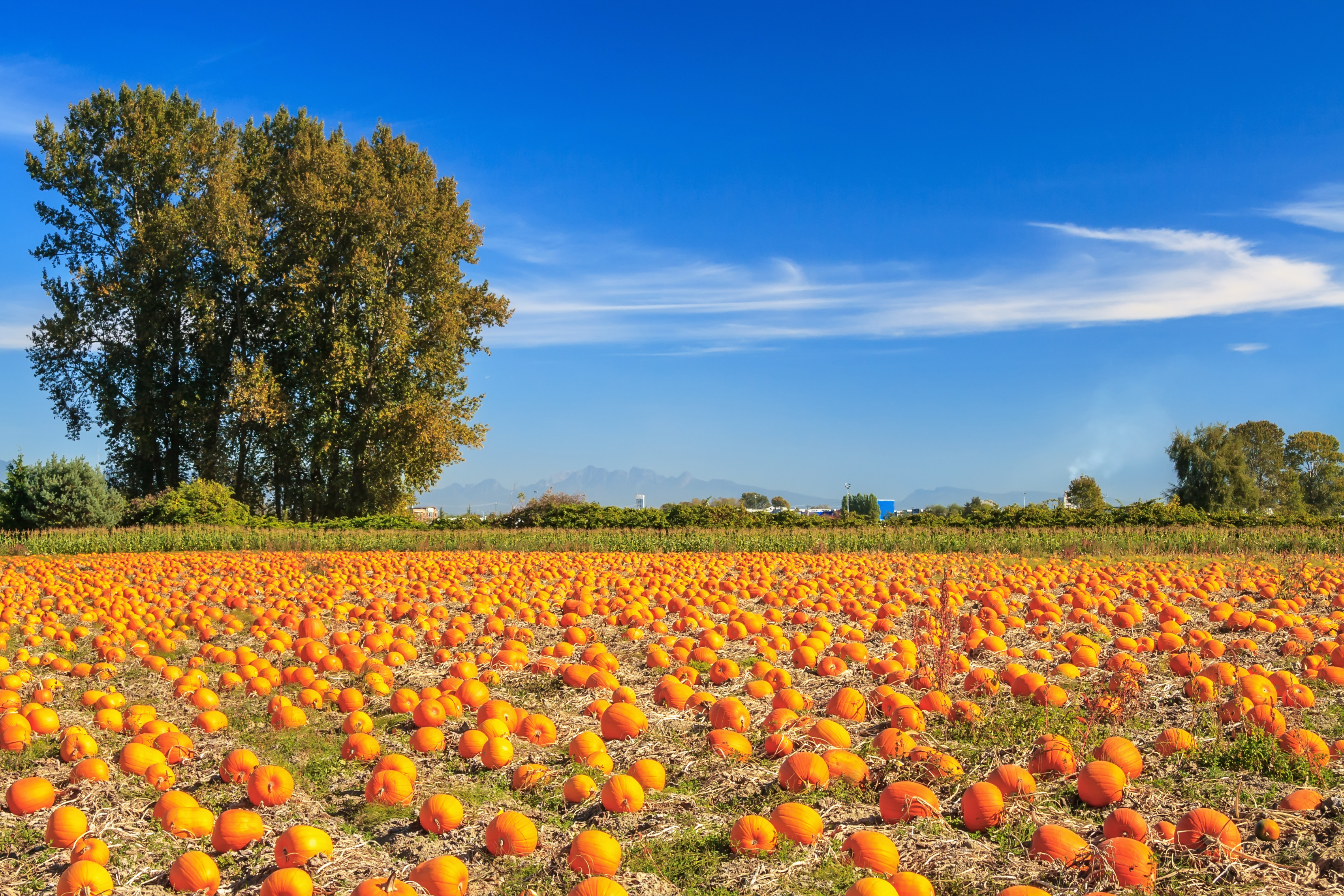 Brookfield pumpkins – pumpkin patch in frederick, md.