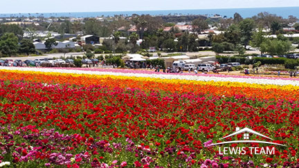 Flower Fields in Carsbad North County Coastal San Diego