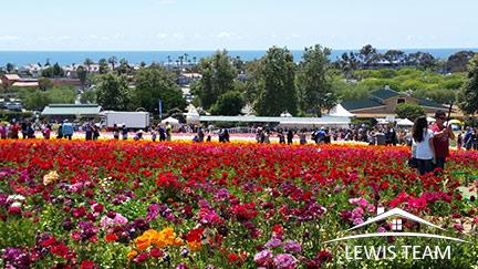Flower Fields in Carlsbad