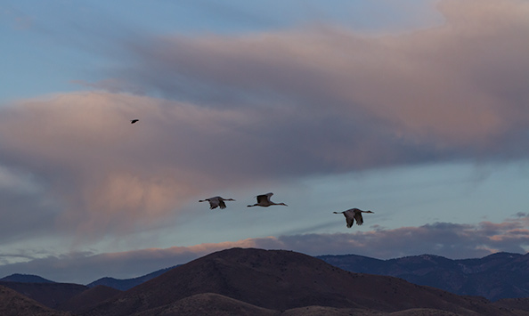 Sand Hill Cranes Migrating to Colorado