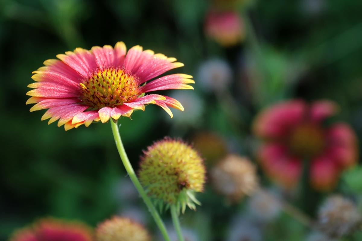 Blanket Flower at Freedom Park
