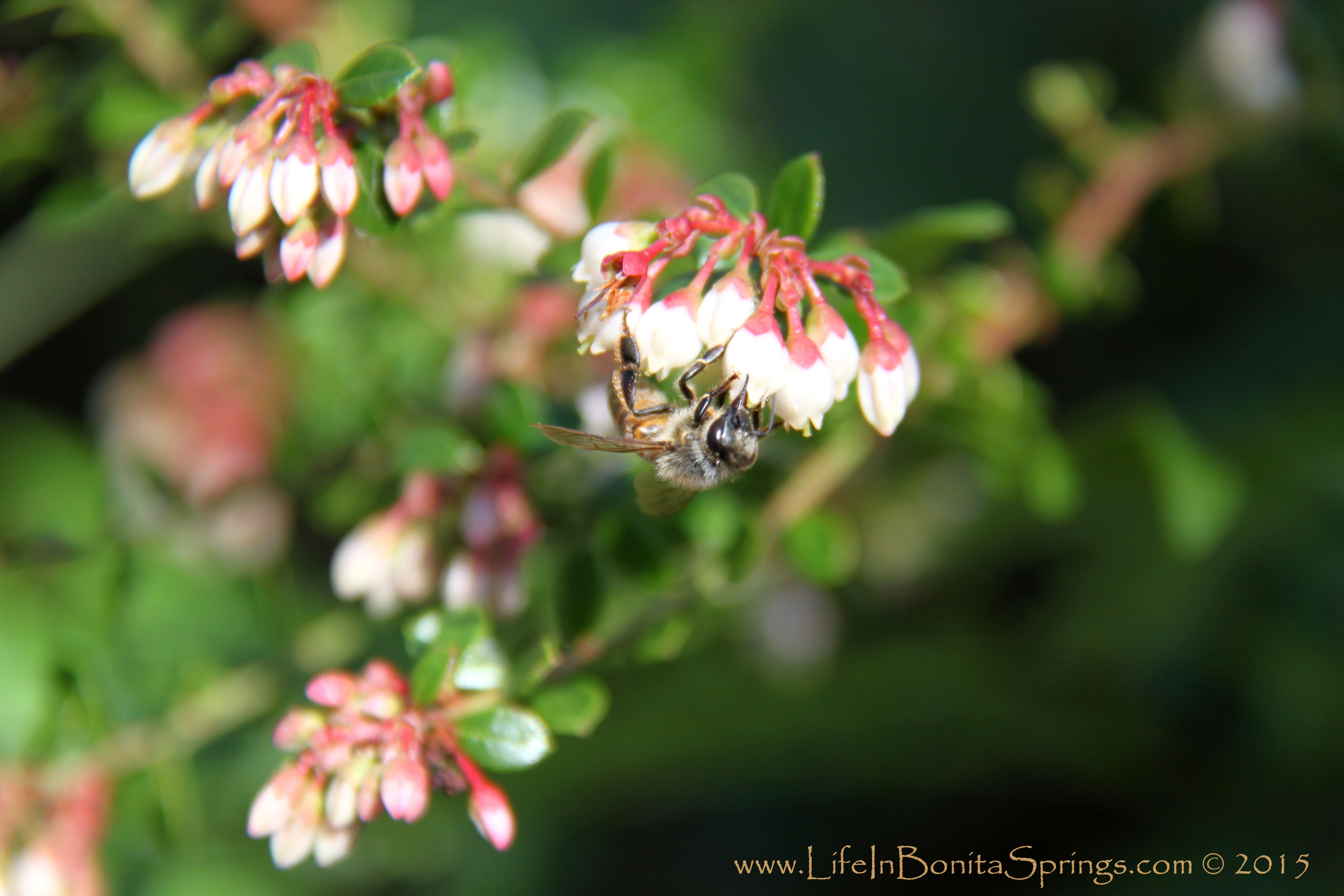 Collier Seminole Honey Bee