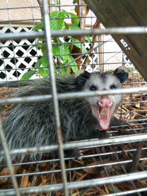 Lucrecia the Possum