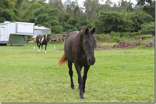 Bonita Springs Black Horse