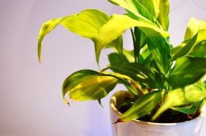 a leafy indoor plant in a pot