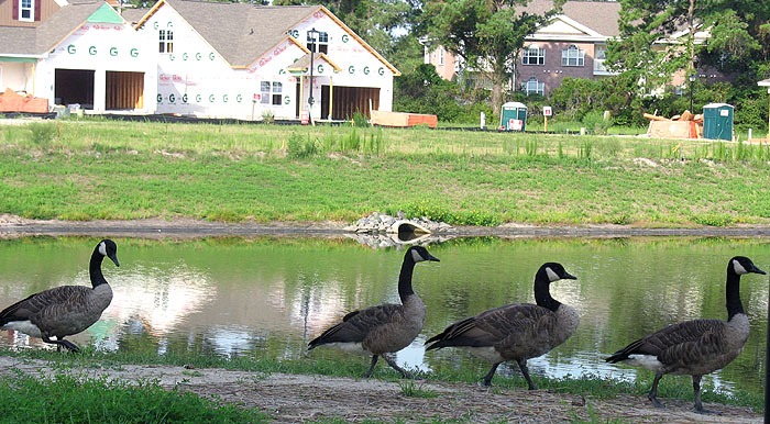 Cypress Village Lake with Geese