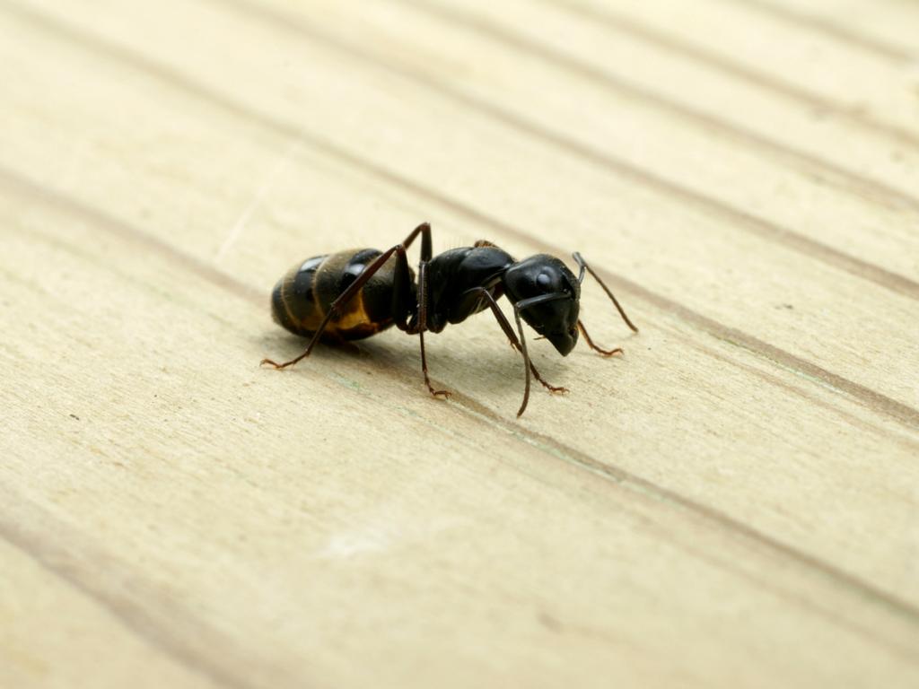 Natural Organic Ant Repellent