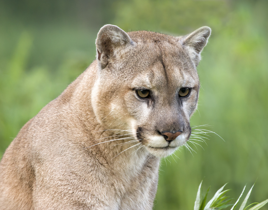 Meet cougars near Issaquah homes.