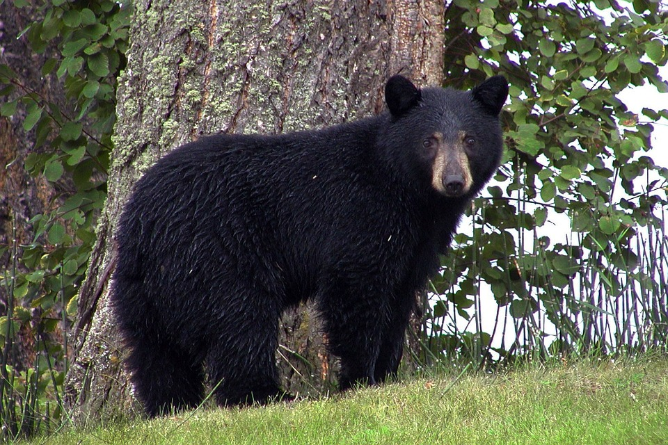 Black Bear in the Smokies