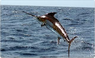 Los Cabos Marlin
