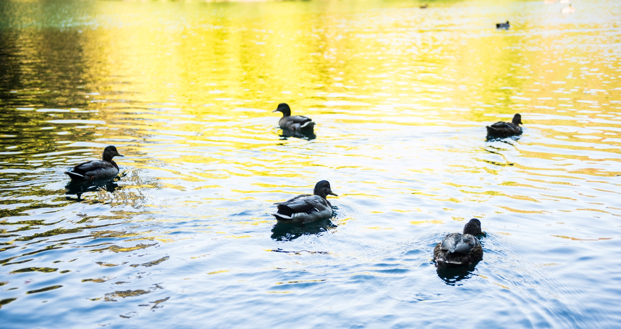Laurelhurst neighborhood duck pond