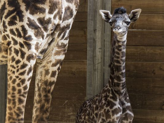 Brevard Zoo's newest addition, a newborn female giraffe!