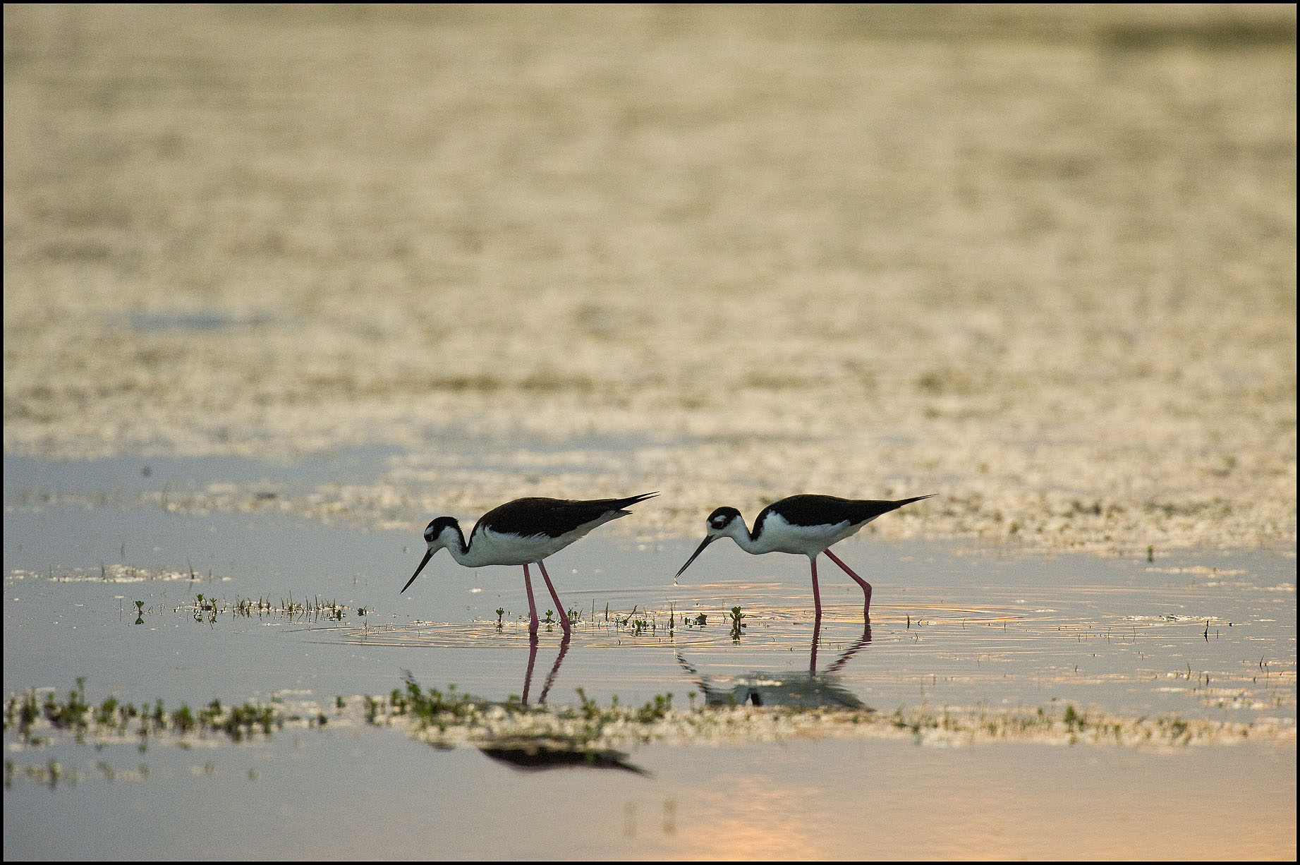 Birds of Hatteras Island