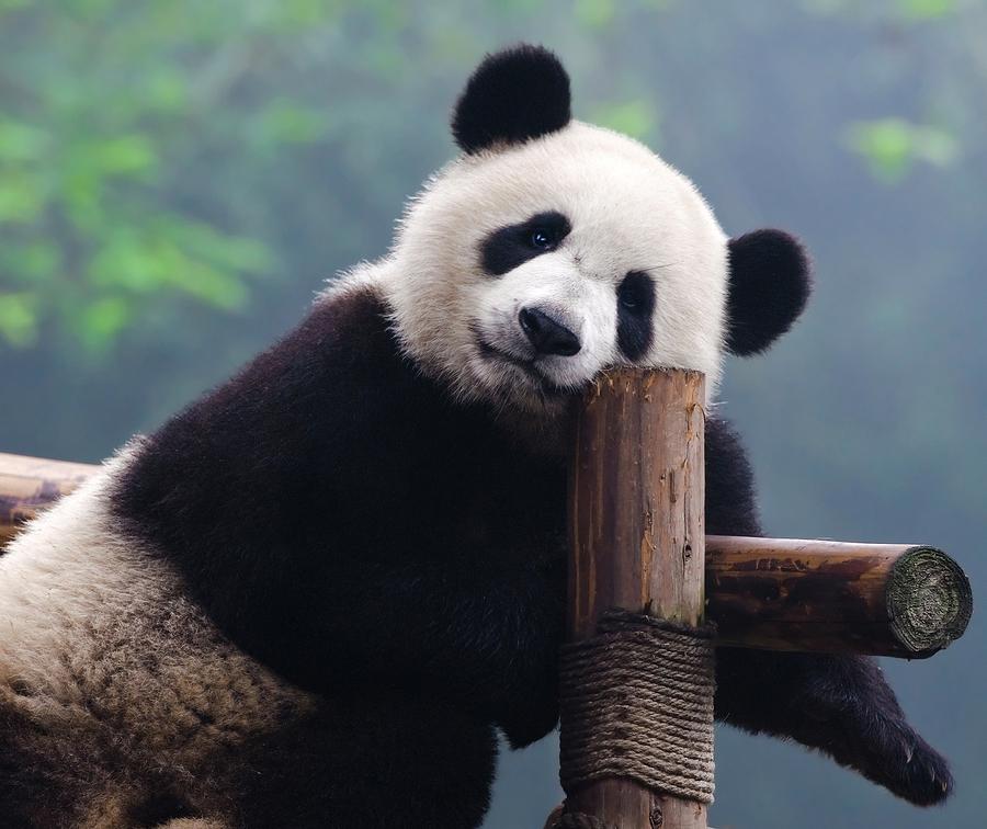 Meet the pandas that live on Washington DC real estate.