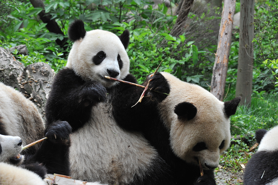 Visit the pandas at the zoo on DC real estate.