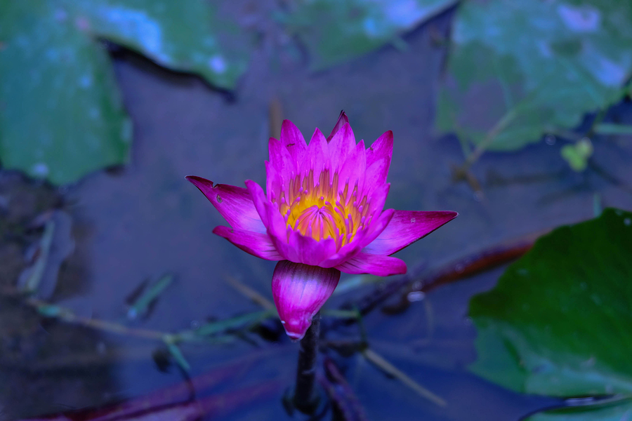 See the lotus flowers on DC real estate.