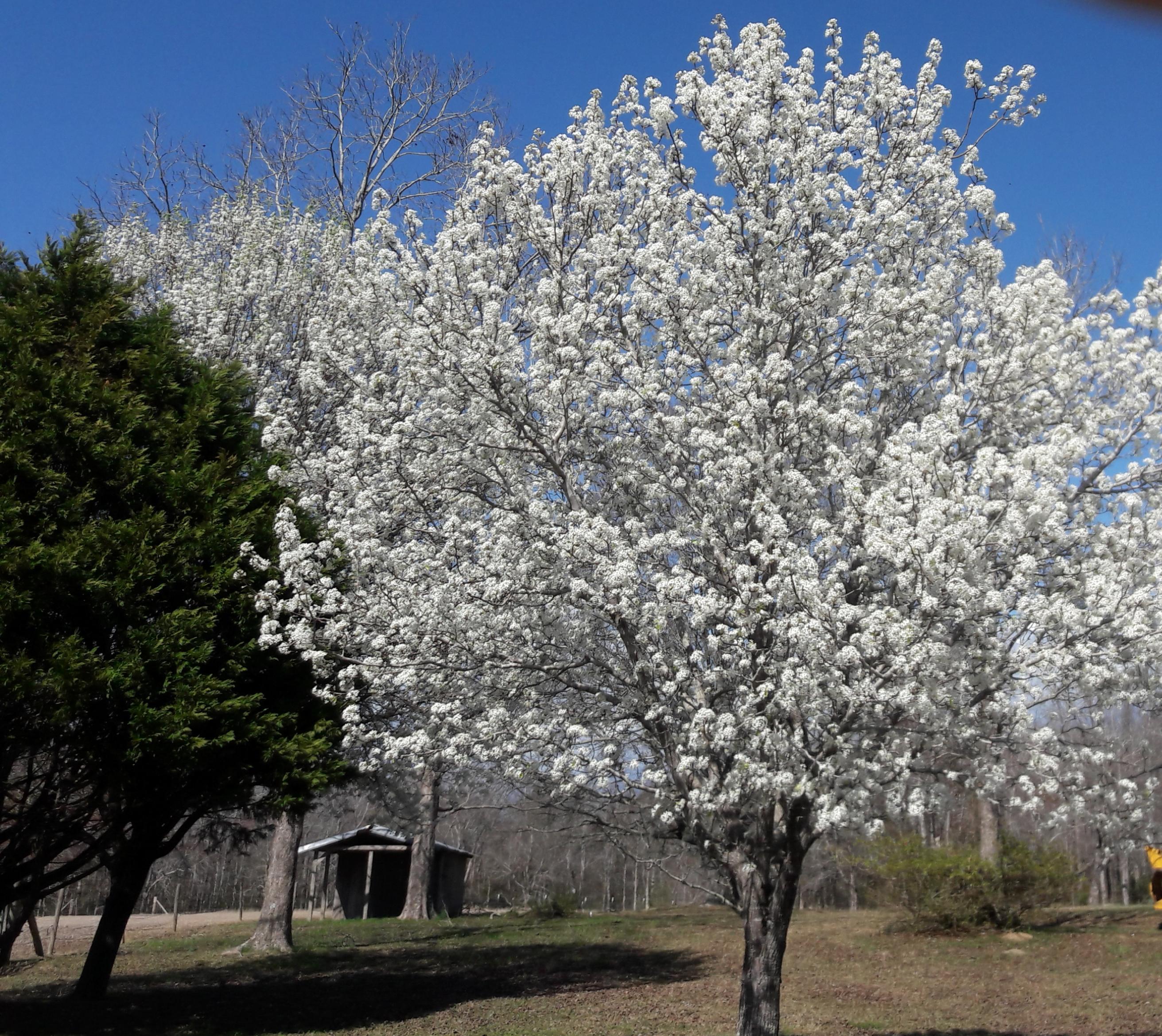 Bradford Pear Trees NC