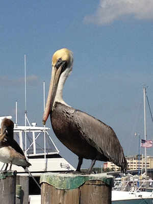 pelican in emerald isle nc