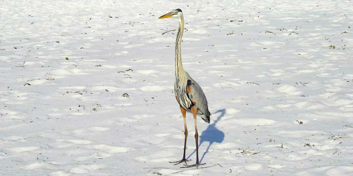 Heron on Okaloosa Island