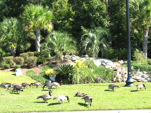Canadian Geese in Surfside Beach Club for the Winter