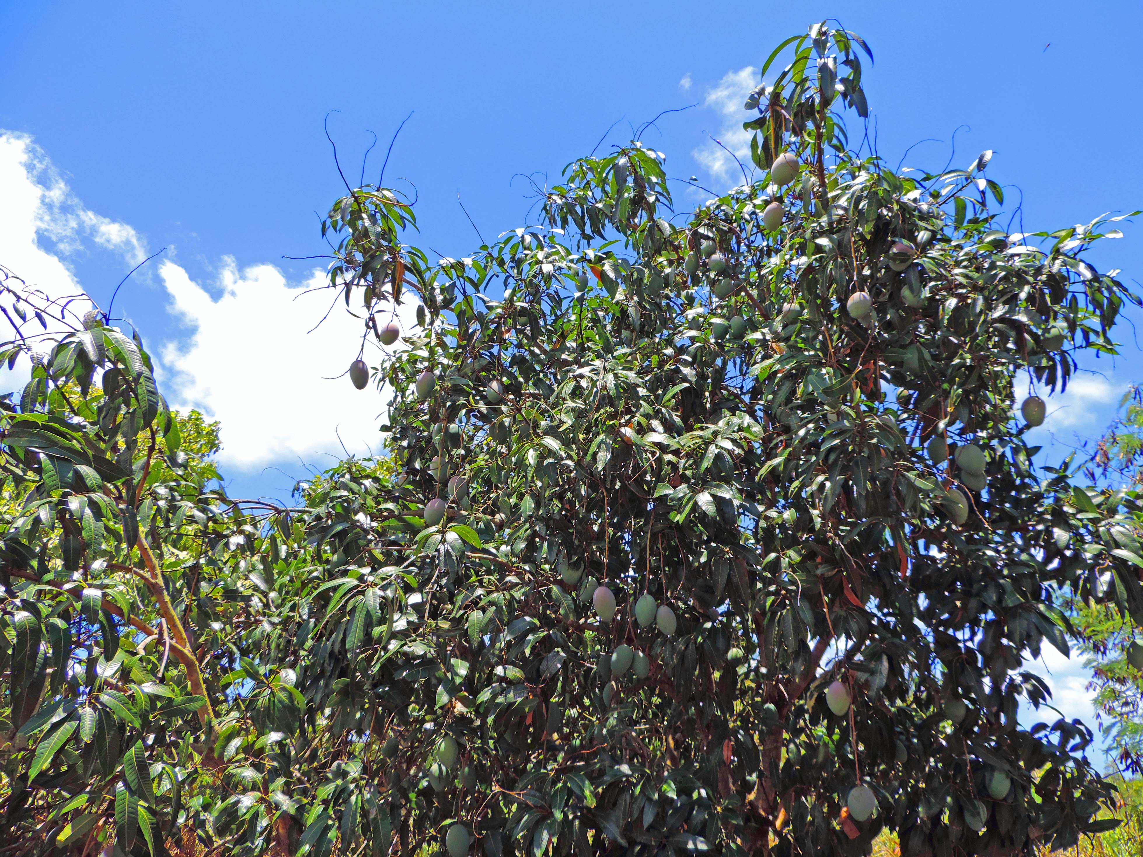 mango trees waialua Oahu