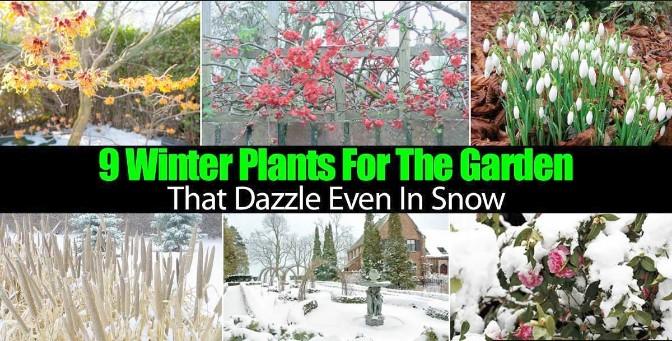 Winter Plants, Dazzle Even in Snow