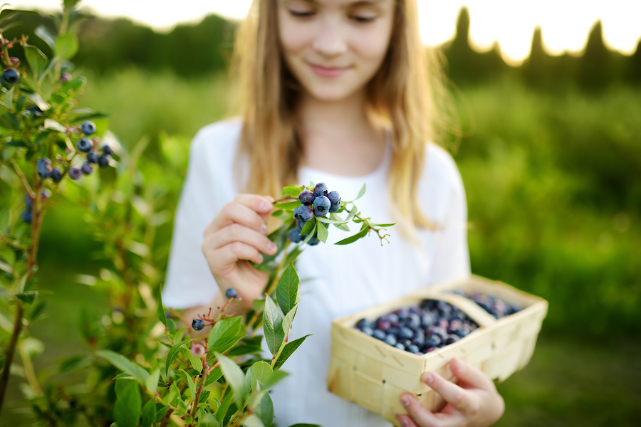 Everyone living in Snohomish goes berry picking.