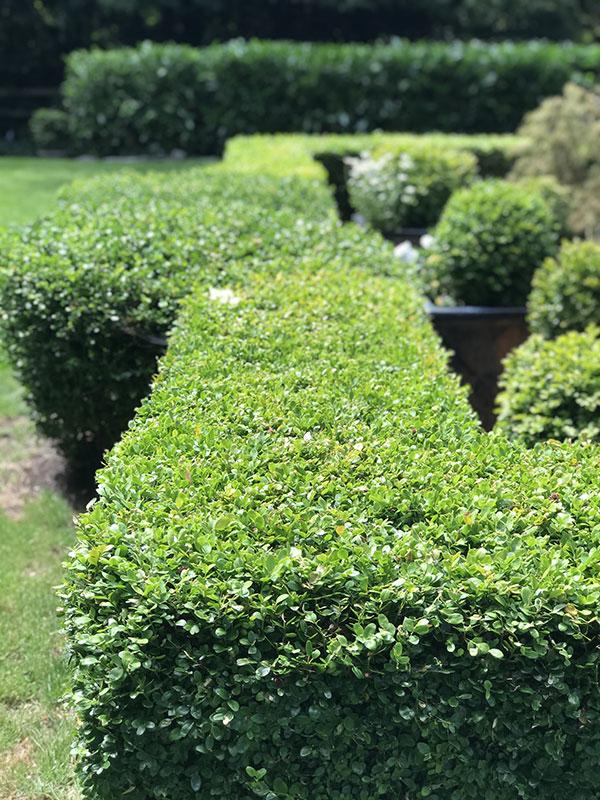 An excellent Bainbridge Island hedge