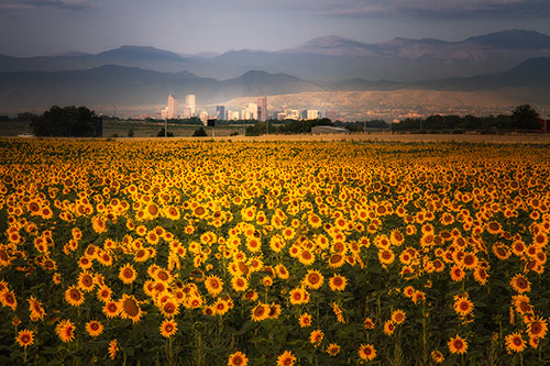 Denver Skyline with Sunflowers