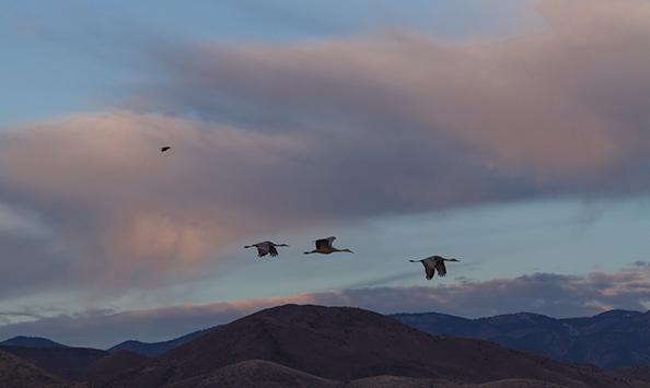 Sand Hill Cranes Migrating to Colorado