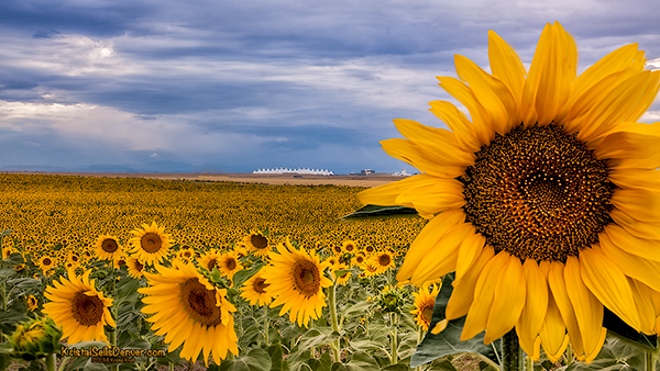 Sunflower fields in front of Denver International Airport