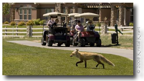 Buffalo Run Golf Course Fox