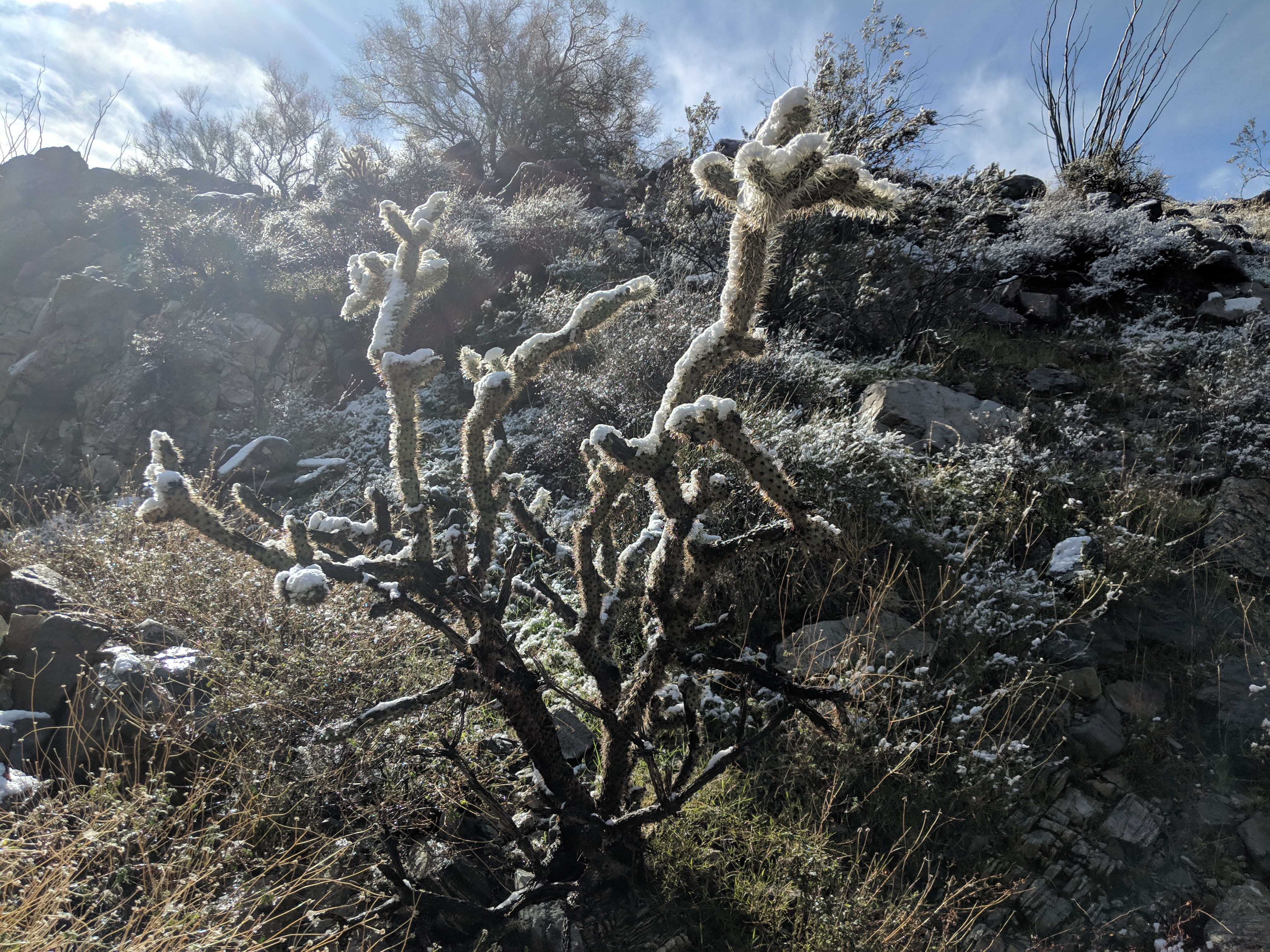 Cactus covered in snow at Lake Havasu City