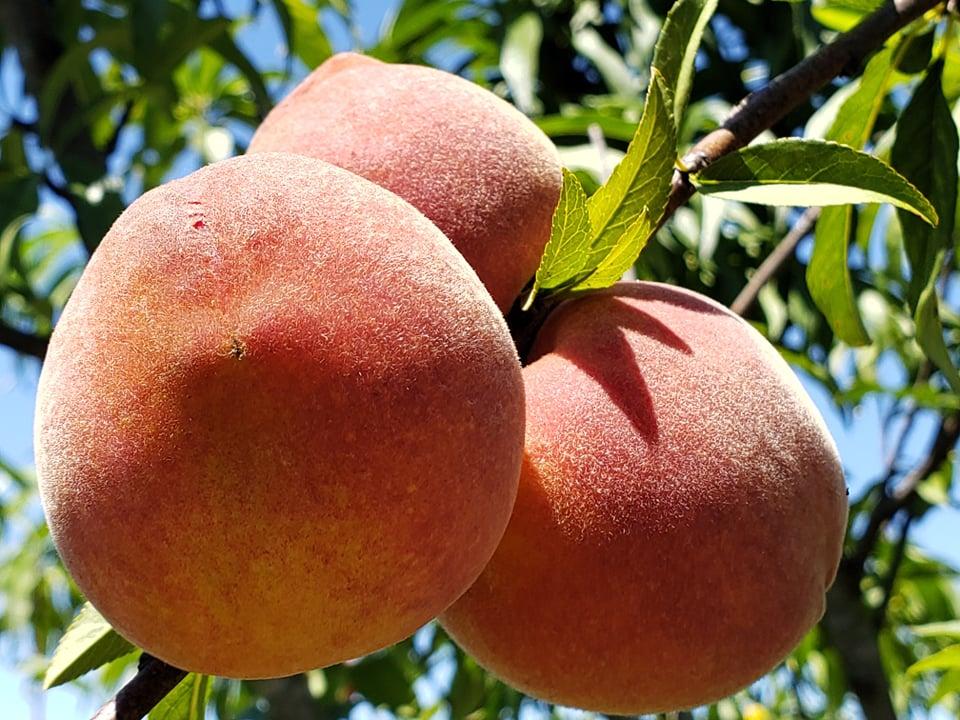 Arcadia Peaches