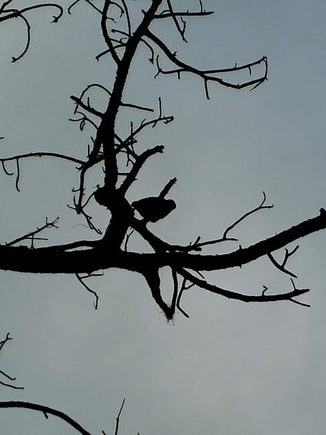 Bonita Springs Hawk