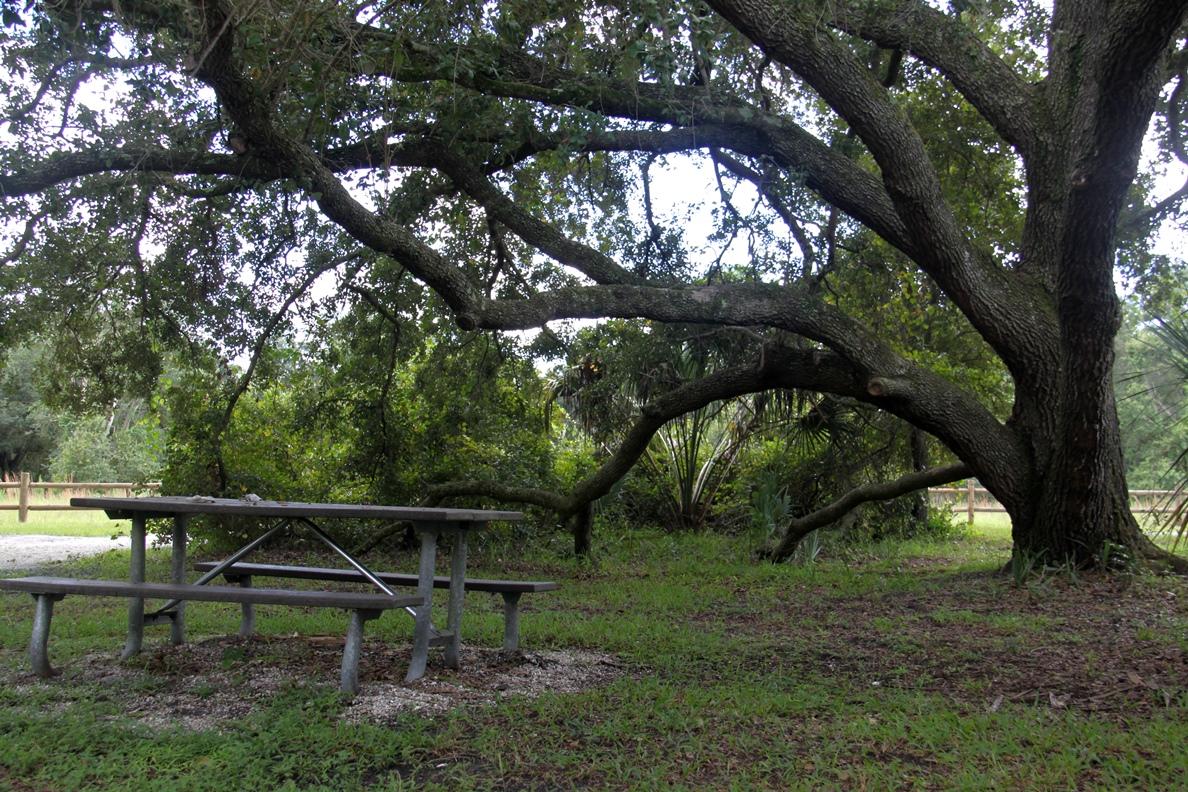 Bonita Springs Oak Tree