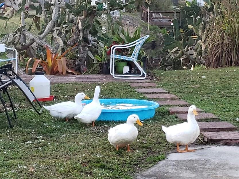 Ducks in Bonita Springs