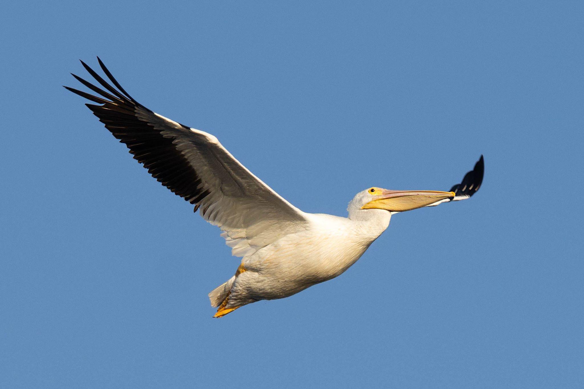 White Pelican Sanibel Ding Darling