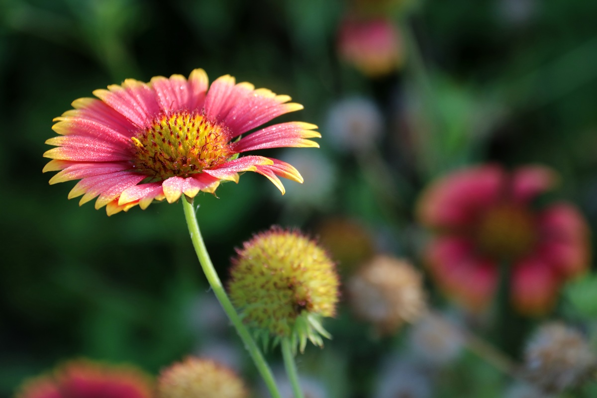 Blanket Flower at Freedom Park