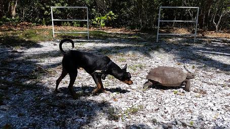 Gopher Tortoise in SWFL