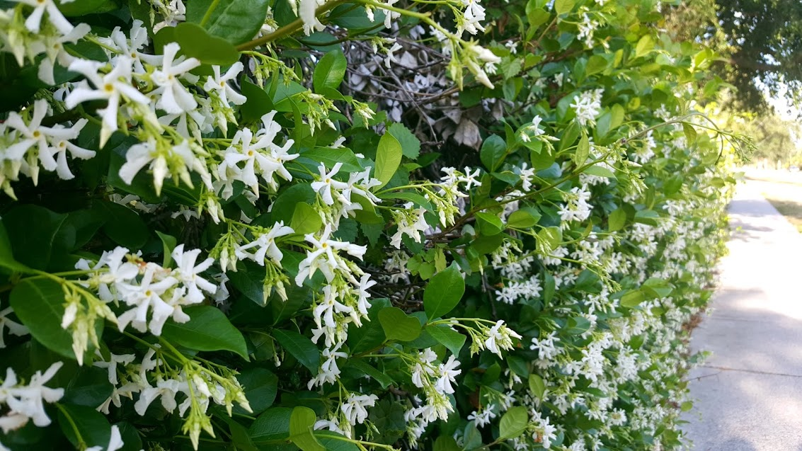Spring flowers in bonita farms bonita springs florida jasmine in bonita farms bonita springs fl mightylinksfo