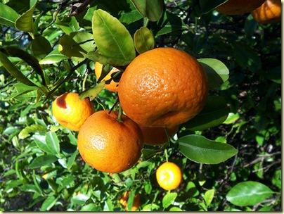 Orange Tree Arbor Day