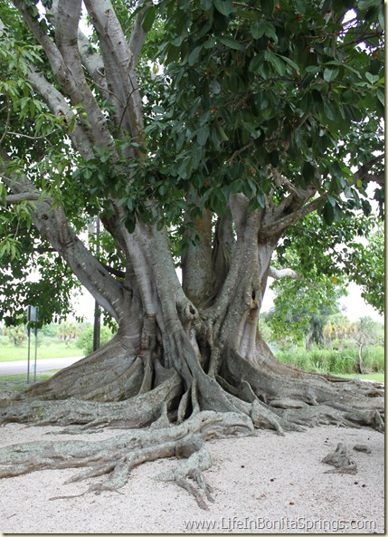 Mysore Fig Tree Estero