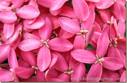 Red Flowers Bonita Springs