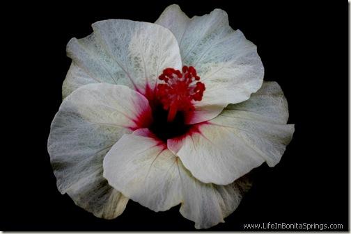 White Paper Hibiscus