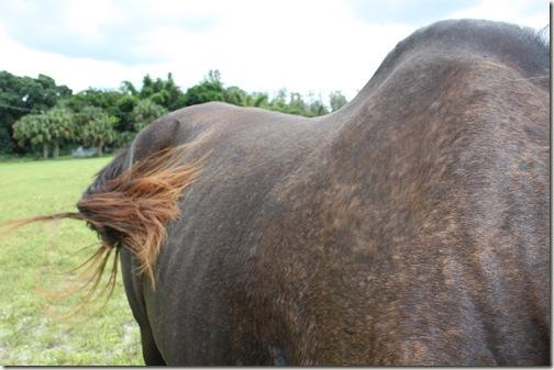 Horse Tail Bonita Springs