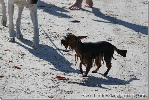 Wet little dog silkie