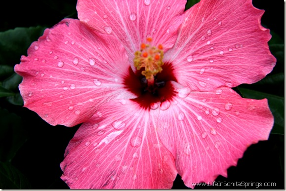Pink Rainy Hibiscus blossom