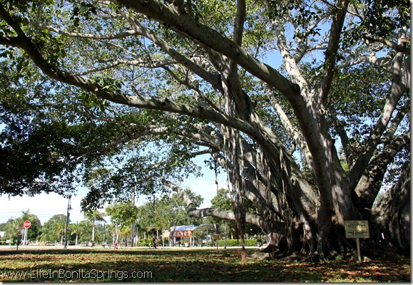 The Banyan Tree at Riverside Park