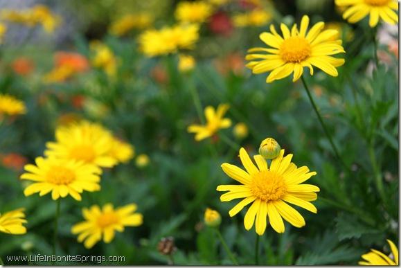 Yellow Daisy in Spanish Wells